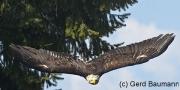 Weißkopfseeadler, Haliaeetus leucocephalus