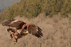 Wüstenbussard; Parabuteo unicinctus; Harri's hawk