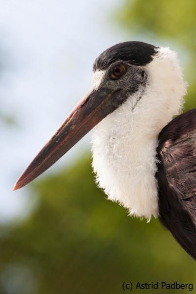 Wollhalsstorch; Ciconia episcopus; woolly-necked stork; bishop stork; white-necked stork