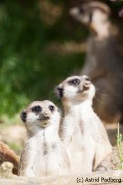 Erdmännchen; Suricata suricatta; Slender-tailed Meerkat