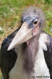 Großer Marabu; Leptoptilus crumeniferus; Marabou Stork