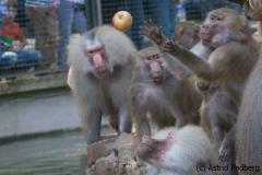 Mantelpavian; Papio hamadryas; Hamadryas baboon
