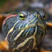 Botanischer Garten Bochum 2016; Rotwangenschmuckschildkröte