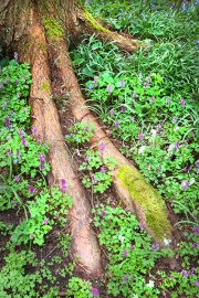 Fuß des Riesenemus (Dromaius gigantus  bochumensis)