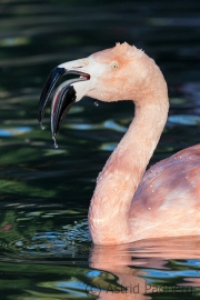 Chile Flamingo