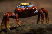 Feeding Sally lightfoot crab