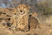Düesternbrook Gepard