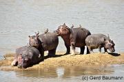Hippo Island, Nord-Luangwa National Park