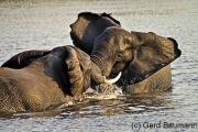 Kräftemessen, Chobe National Park