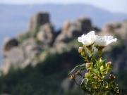 Einzelnes Röschen, Parque nacional de la Sierra de Guadarrama