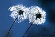 Pusteblumen, Triglav Nationalpark