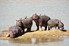 Hippo Island, Nord-Luangwa National Park