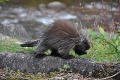 Stachelige Begegnung, Saguenay Fjord National Park