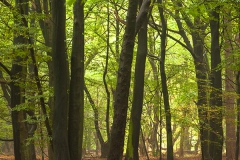 Der Wald, Wildeshausener Geest