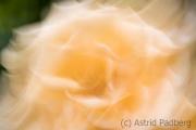 Rose (c) Astrid Padberg