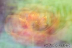 Kokardenblume (c) Astrid Padberg