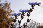 Strohblumen (Mehrfachbelichtung) (c) Hans Peter Eckstein