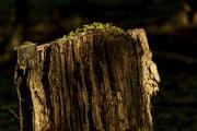 Neues Leben - Klee auf totem Baumstumpf