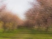 Kirschbäume - Doppelbelichtung