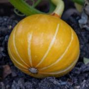 Kleiner gelber Kürbis mit hellen Streifen