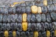 Alte schwarz - gelbe Maisrasse, die bereits von den Inkas kultiviert wurde