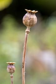 Zwei freigestellte Samenkapseln vom Klatschmohn