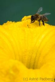 Biene  an Kürbisblüte
