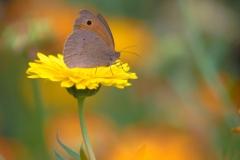 Ringelblumen mit Braunes Ochsenauge (?)
