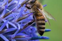 Biene an Kugeldistel