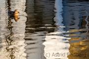 Die Ente im Teich