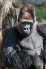 Gorilla (Chef)