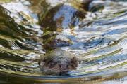 Europäischer Fischotter