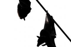 Kalong, Pteropus vampyrus