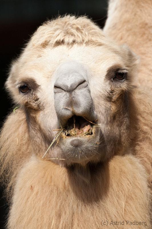 Trampeltier;Bactrian camel; Camelus ferus f. bactrianus